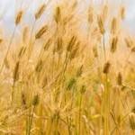 【イネ科花粉症】麦花粉症と小麦アレルギーの密接な関係