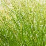 【イネ科花粉症】4月から対策!ホソムギ花粉症の特徴と対策まとめ