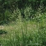 【6月のイネ科花粉症】ナガハグサ花粉症の時期・症状・対策まとめ