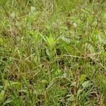 【8月のイネ科花粉症】ギョウギシバ花粉症の時期・症状・対策まとめ