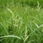 【8月のイネ科花粉症】シラゲガヤ花粉症の時期・症状・対策まとめ