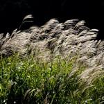 【イネ科花粉症】沖縄にも花粉症が?ススキ花粉症の特徴と対策